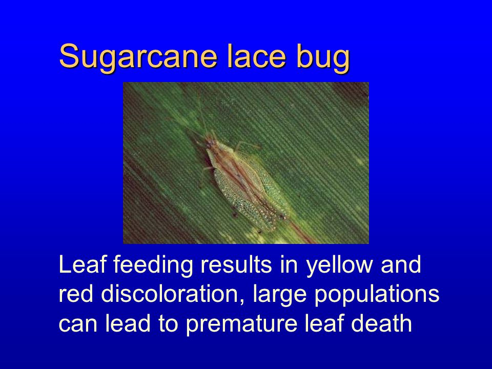 Sugarcane lace bug Leaf feeding results in yellow and