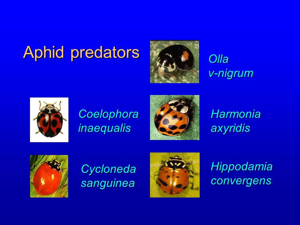 Aphid predators Olla v-nigrum Coelophora inaequalis Harmonia axyridis