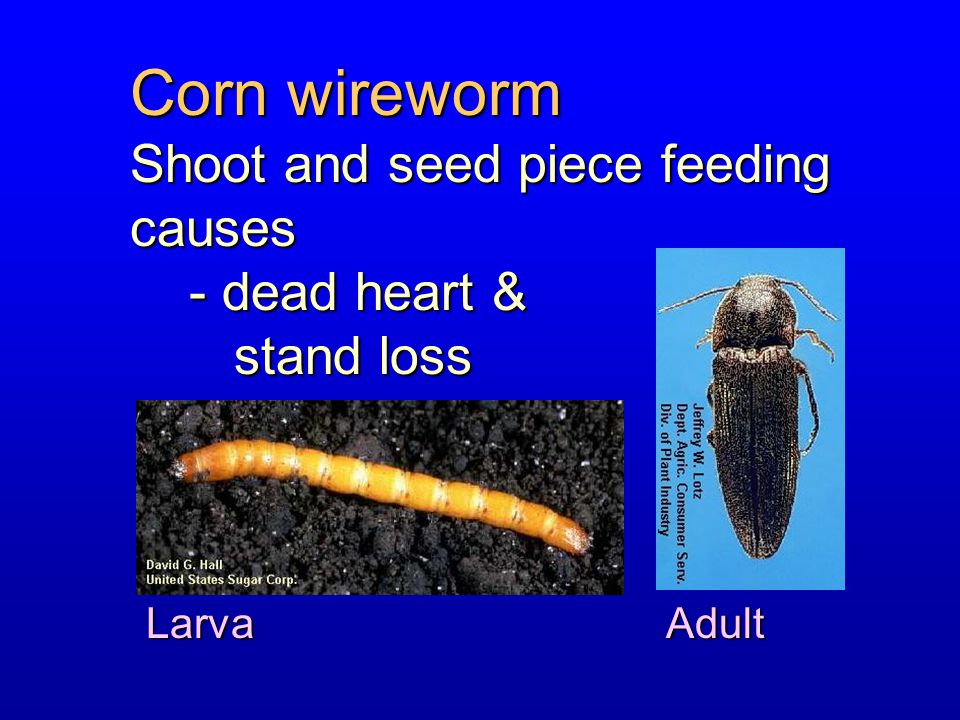 Corn wireworm Shoot and seed piece feeding causes - dead heart &