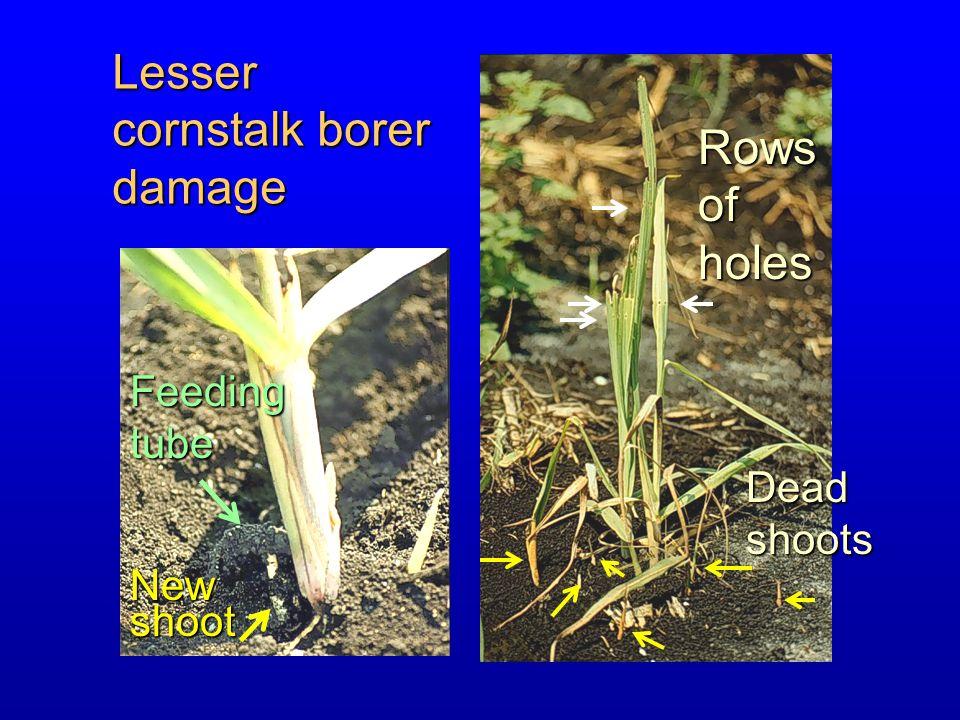Lesser cornstalk borer damage Rows of holes Feeding tube Dead shoots