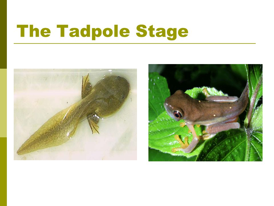 The Tadpole Stage