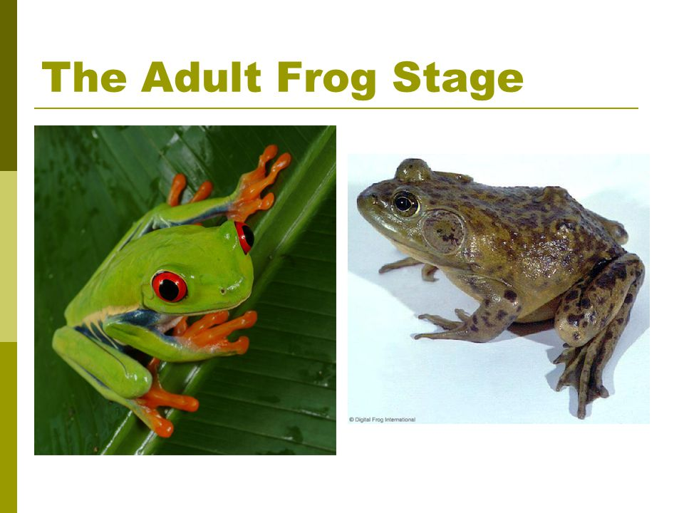 The Adult Frog Stage