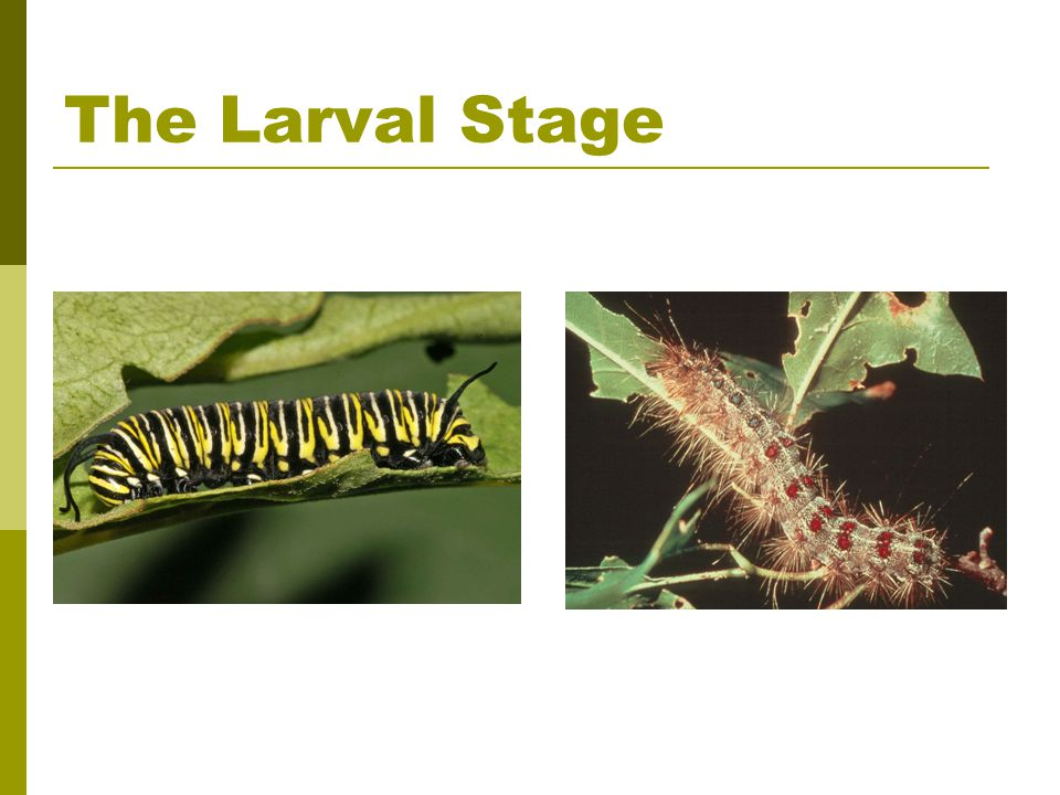 The Larval Stage