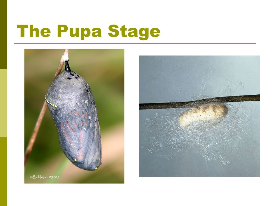 The Pupa Stage