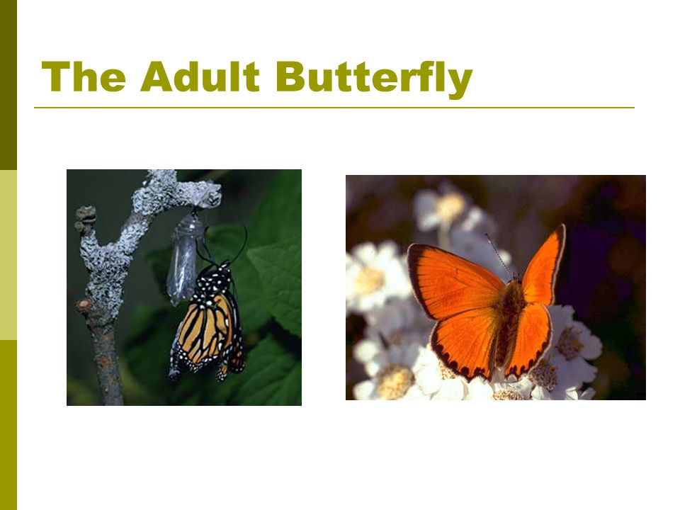 The Adult Butterfly