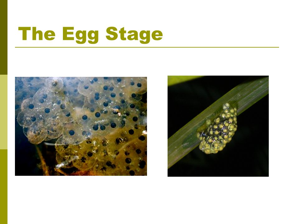 The Egg Stage