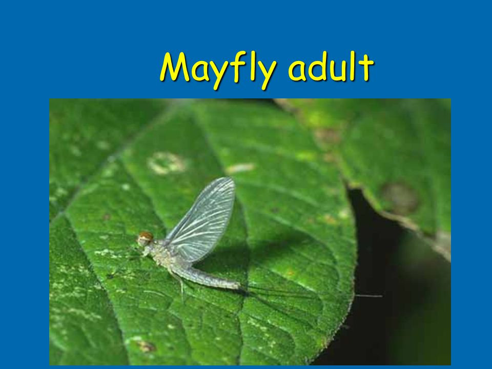 Mayfly adult