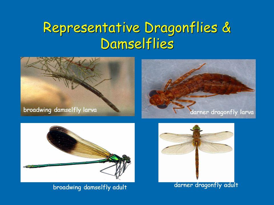 Representative Dragonflies & Damselflies