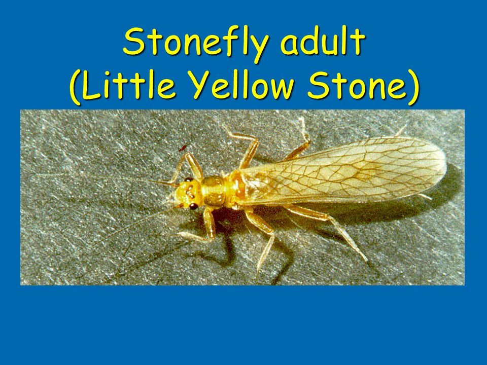Stonefly adult (Little Yellow Stone)