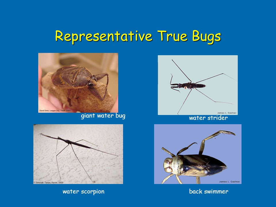 Representative True Bugs