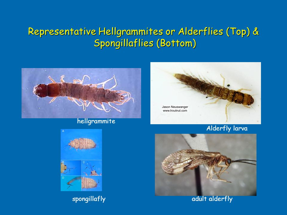 Representative Hellgrammites or Alderflies (Top) & Spongillaflies (Bottom)