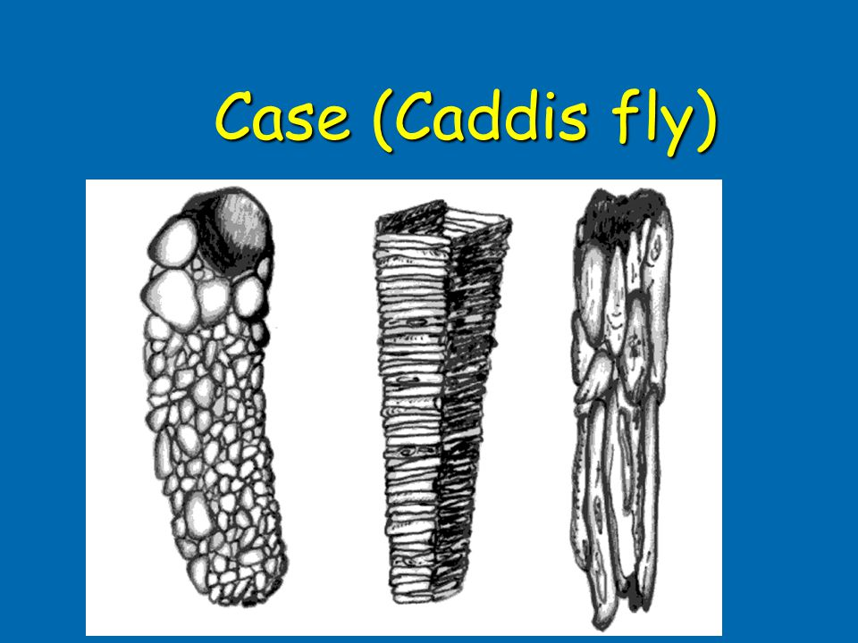 Case (Caddis fly) Case 1: Fall caddis (Family Limnephilidae, Genus Dicosmoecus)