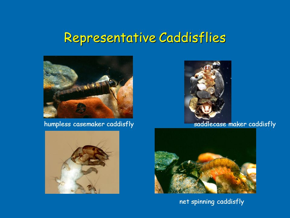 Representative Caddisflies