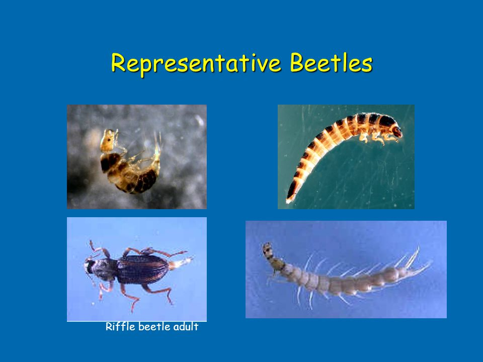 Representative Beetles
