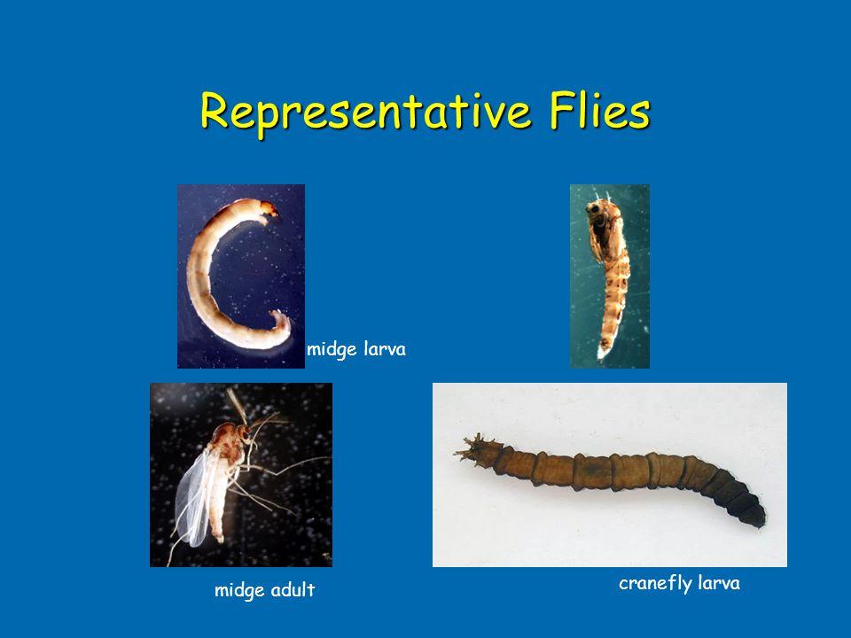 Representative Flies midge larva cranefly larva midge adult