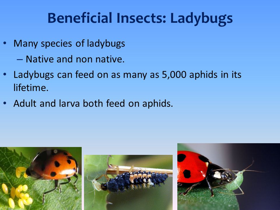 Beneficial Insects: Ladybugs