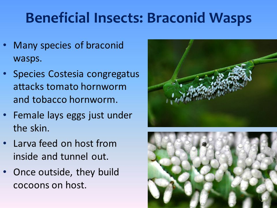 Beneficial Insects: Braconid Wasps