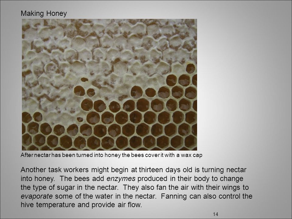 Making Honey After nectar has been turned into honey the bees cover it with a wax cap.