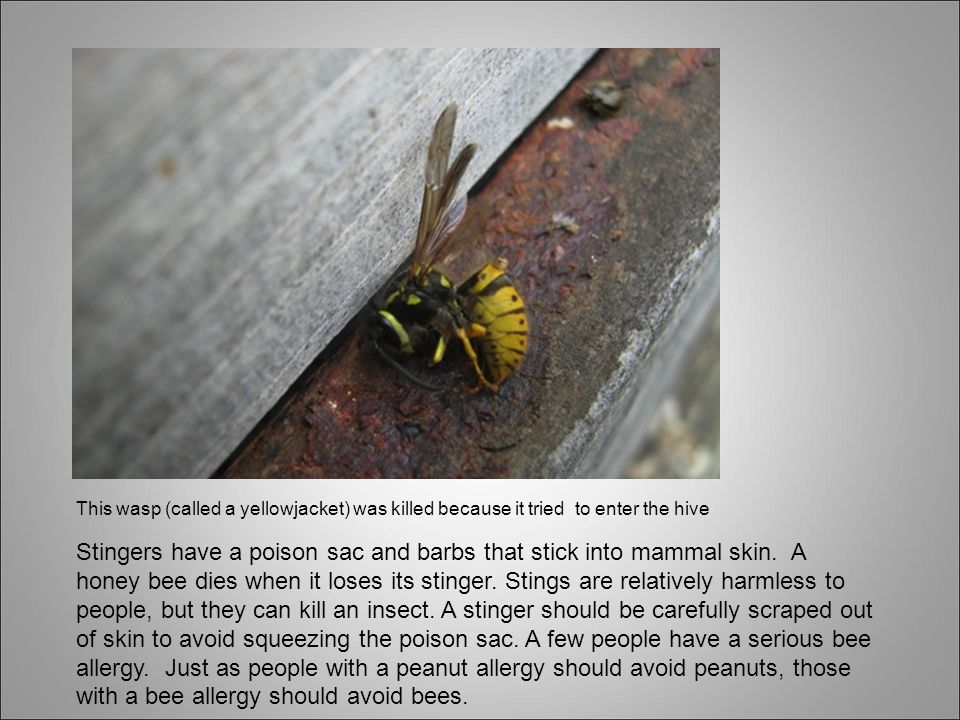 This wasp (called a yellowjacket) was killed because it tried to enter the hive