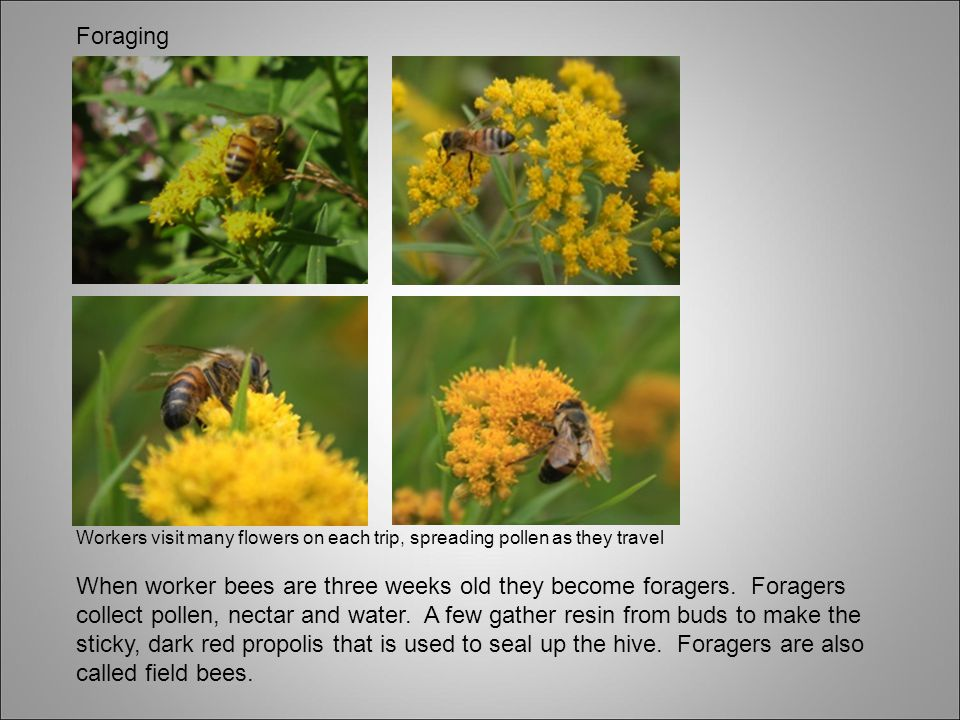 Foraging Workers visit many flowers on each trip, spreading pollen as they travel.