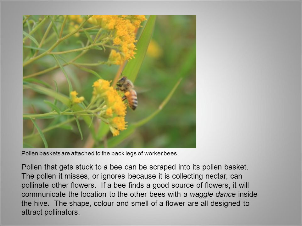 Pollen baskets are attached to the back legs of worker bees