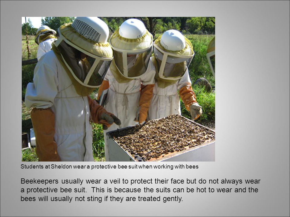 Students at Sheldon wear a protective bee suit when working with bees