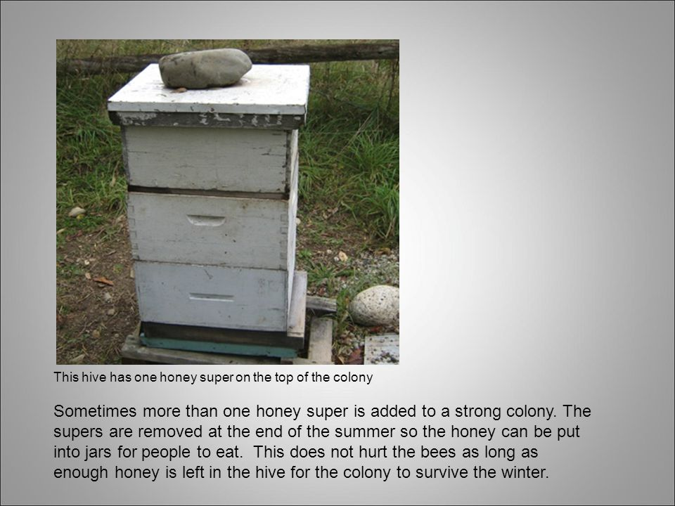This hive has one honey super on the top of the colony