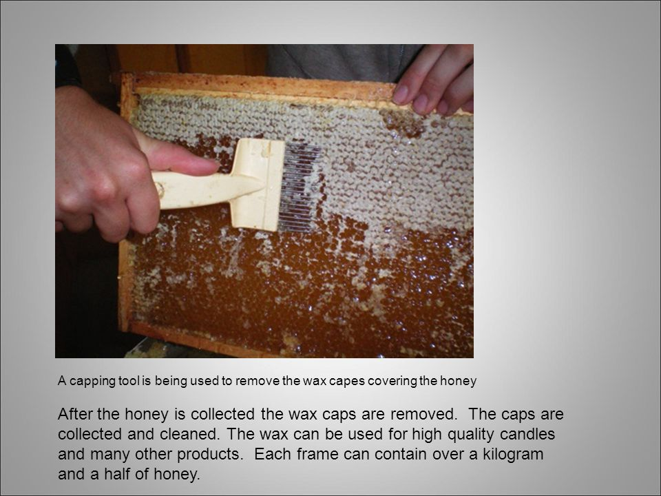 A capping tool is being used to remove the wax capes covering the honey