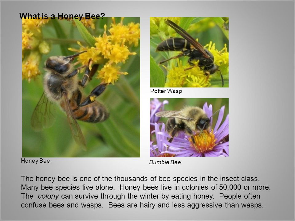 What is a Honey Bee Potter Wasp.
