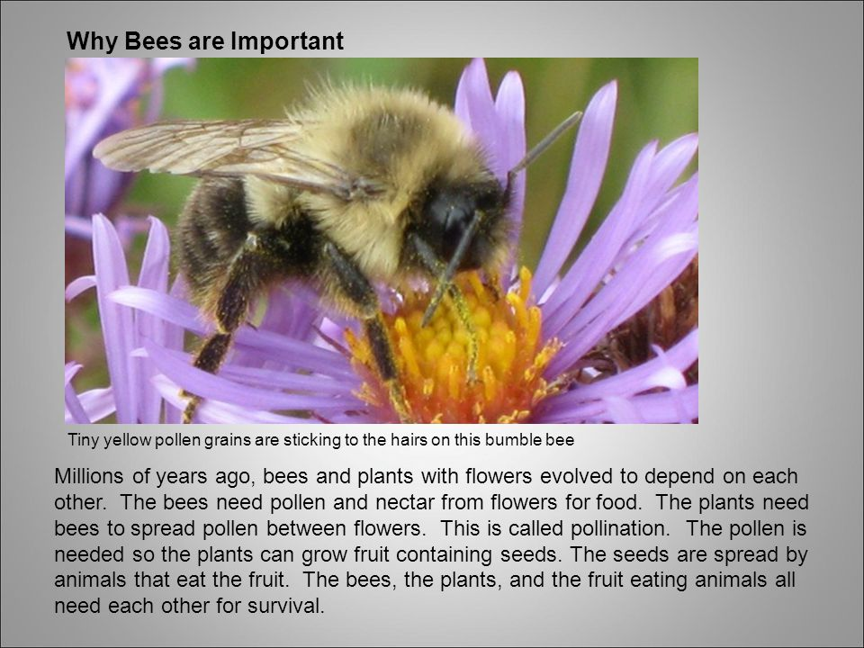 Why Bees are Important Tiny yellow pollen grains are sticking to the hairs on this bumble bee.