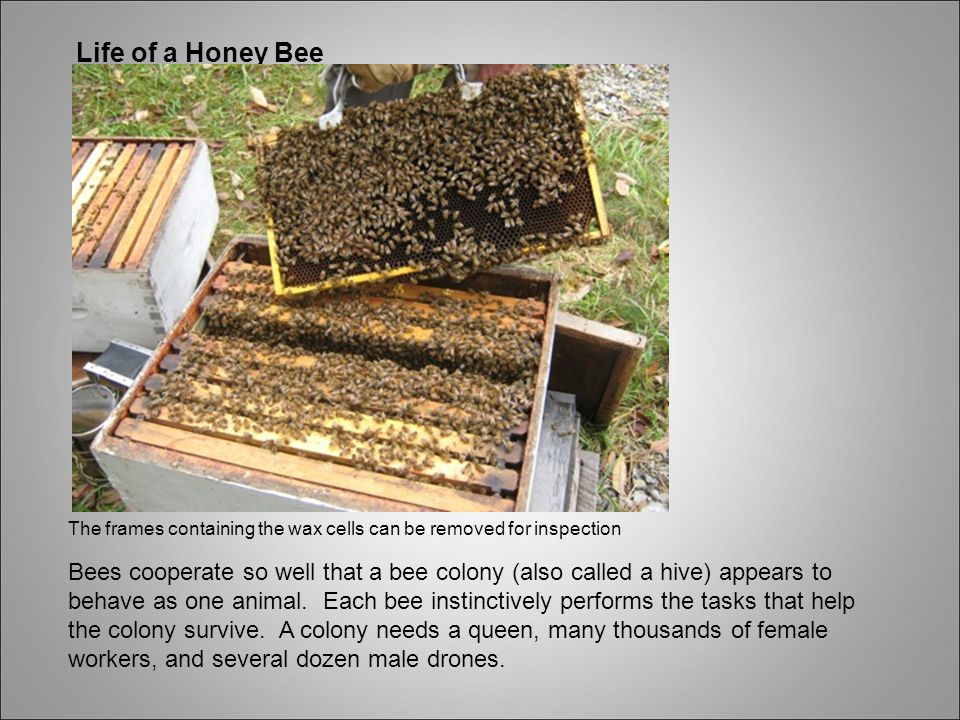Life of a Honey Bee The frames containing the wax cells can be removed for inspection.