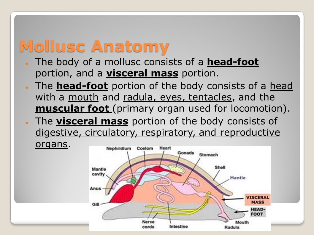 Mollusc Anatomy The body of a mollusc consists of a head-foot portion, and a visceral mass portion.