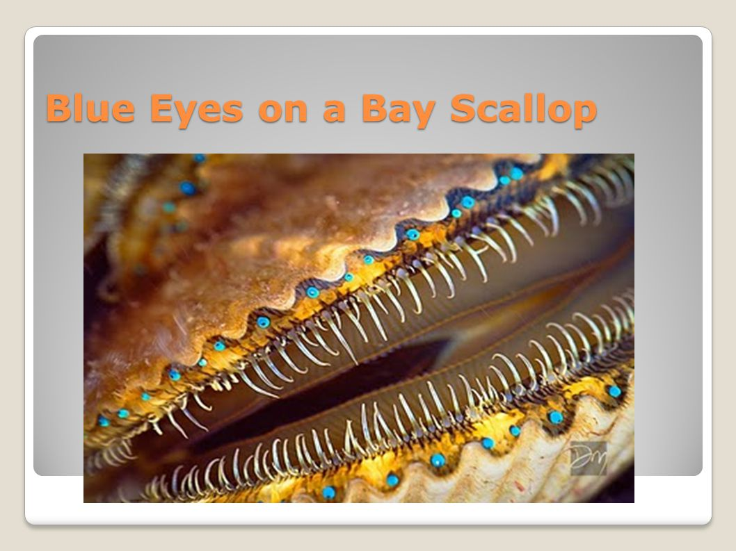 Blue Eyes on a Bay Scallop