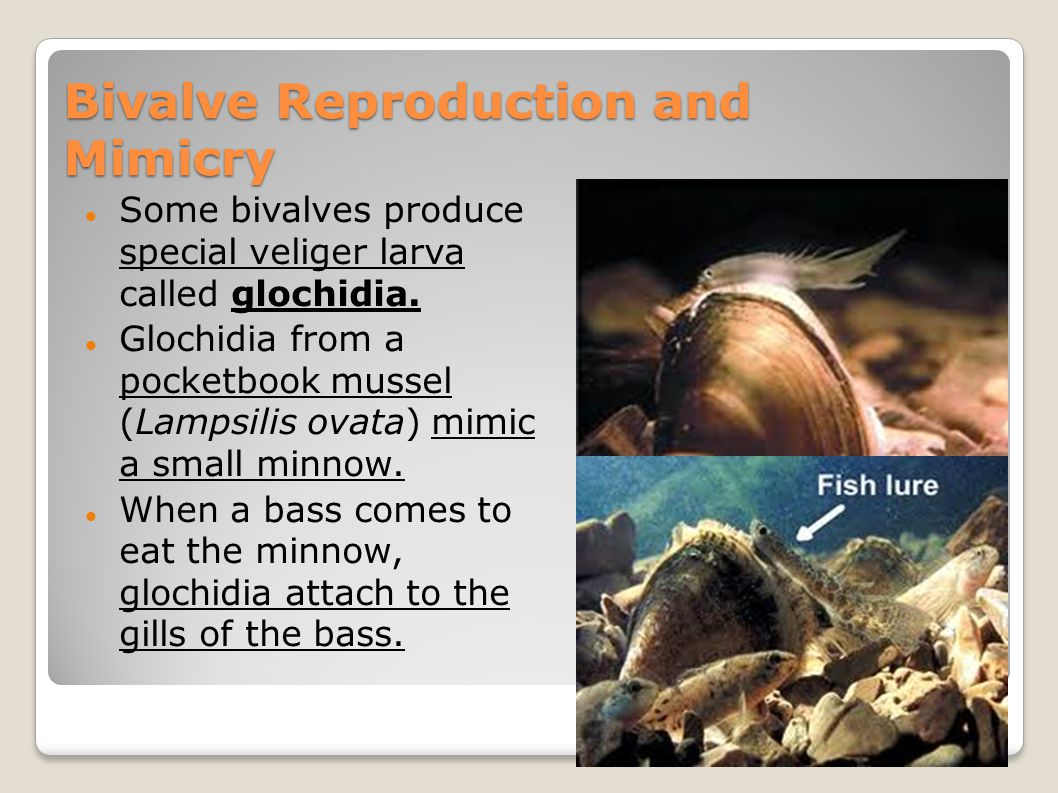 Bivalve Reproduction and Mimicry