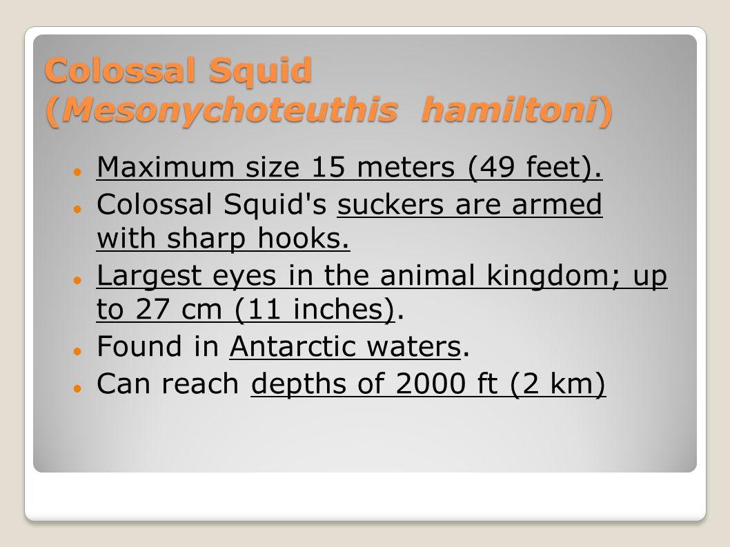 Colossal Squid (Mesonychoteuthis hamiltoni)
