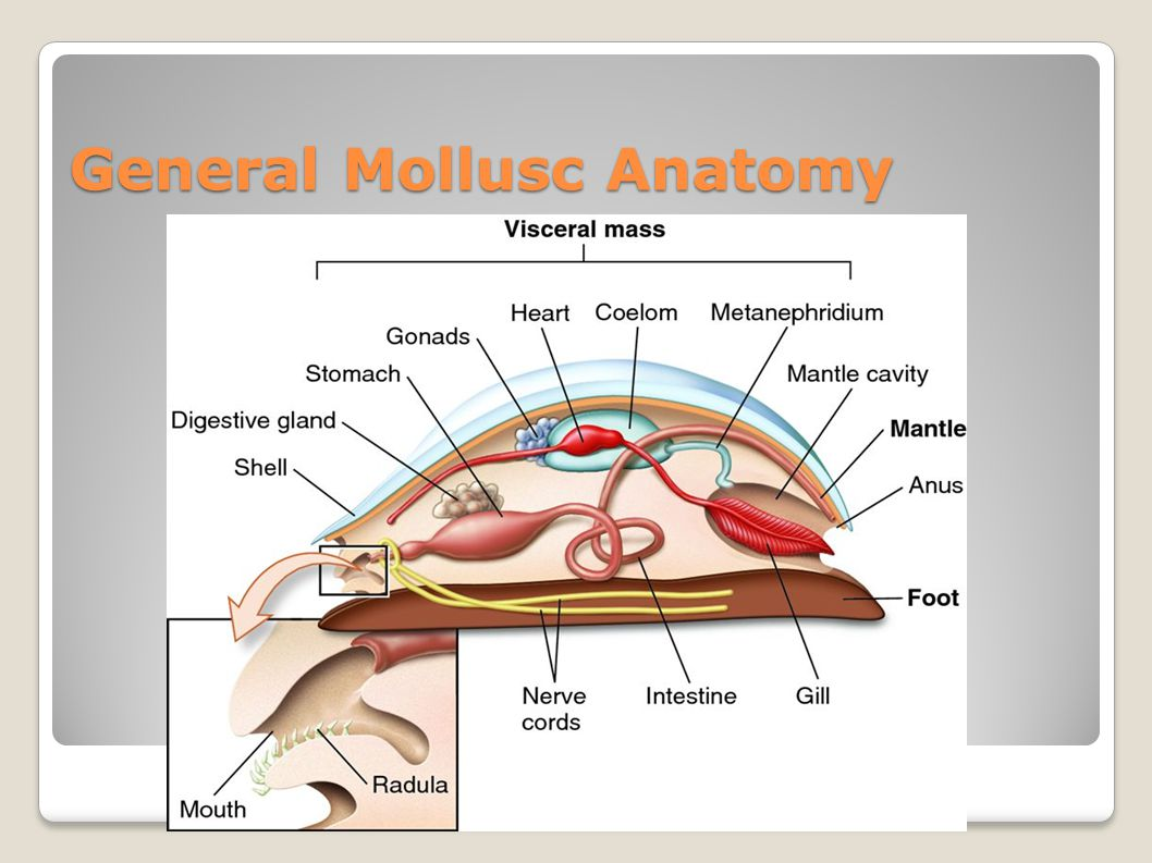 General Mollusc Anatomy