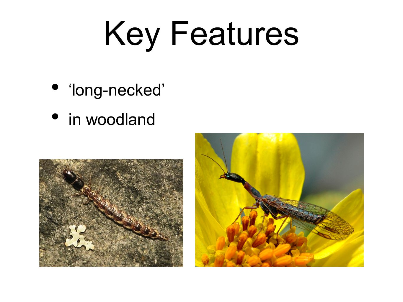 Key Features 'long-necked' in woodland