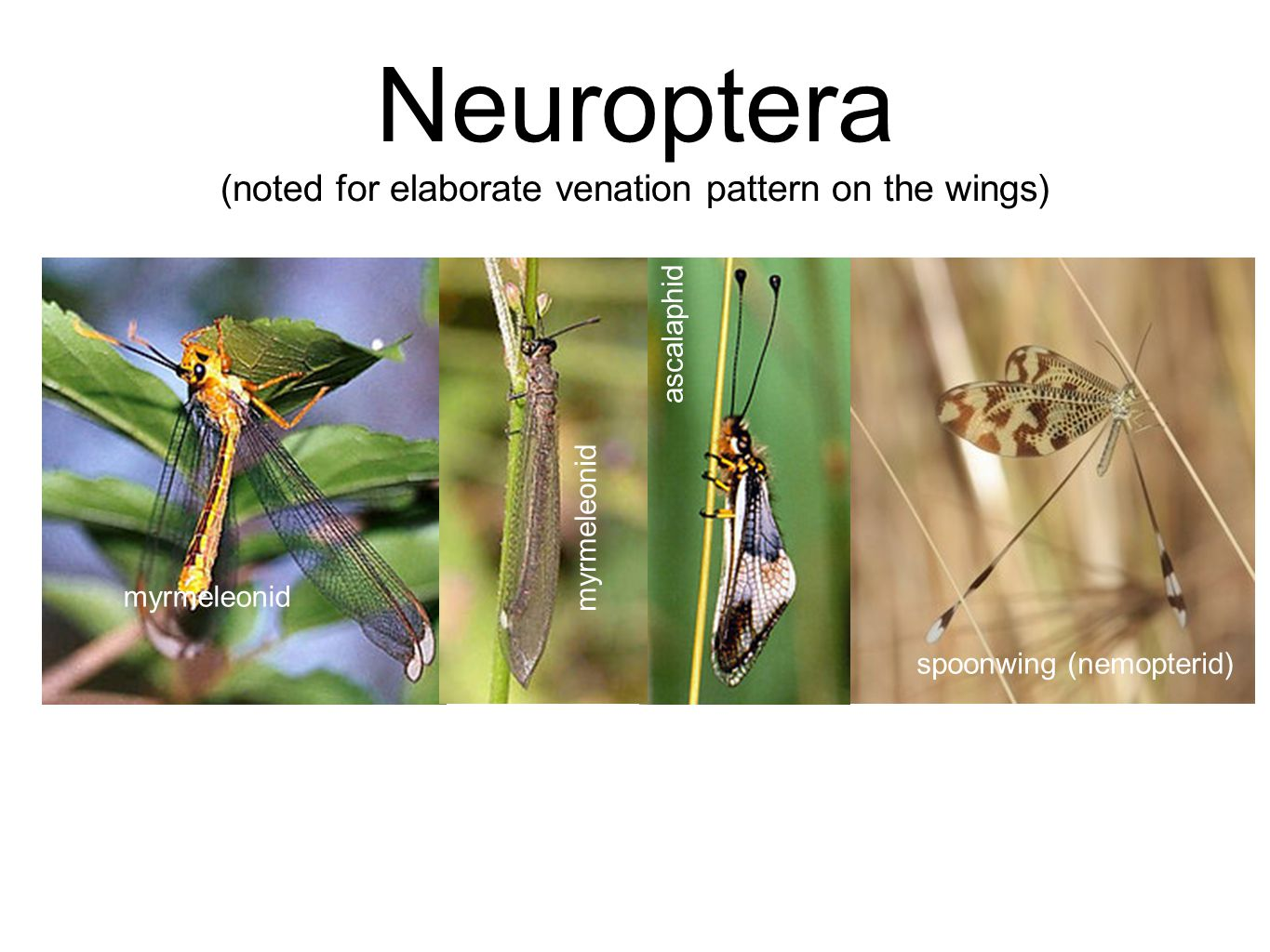 Neuroptera (noted for elaborate venation pattern on the wings)