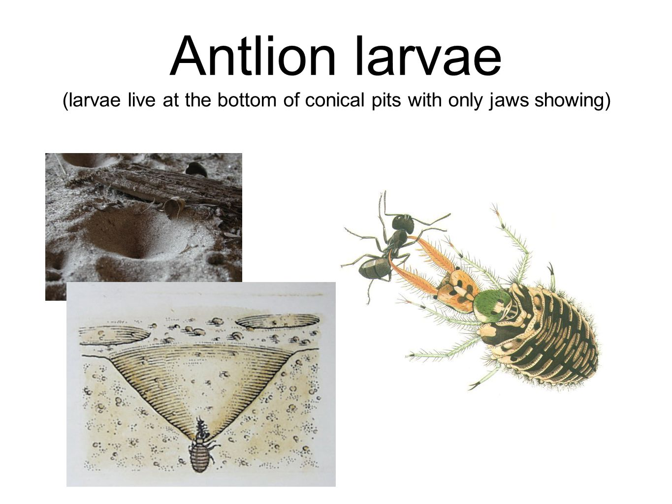 Antlion larvae (larvae live at the bottom of conical pits with only jaws showing)