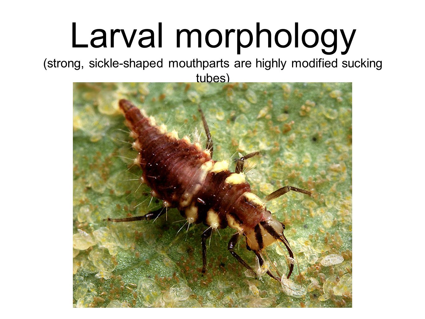 Larval morphology (strong, sickle-shaped mouthparts are highly modified sucking tubes)