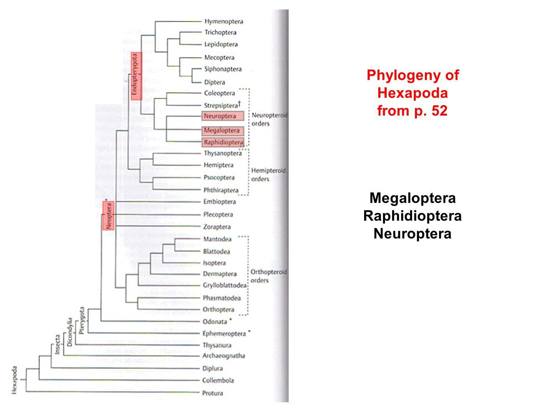 Phylogeny of Hexapoda from p. 52 Megaloptera Raphidioptera Neuroptera