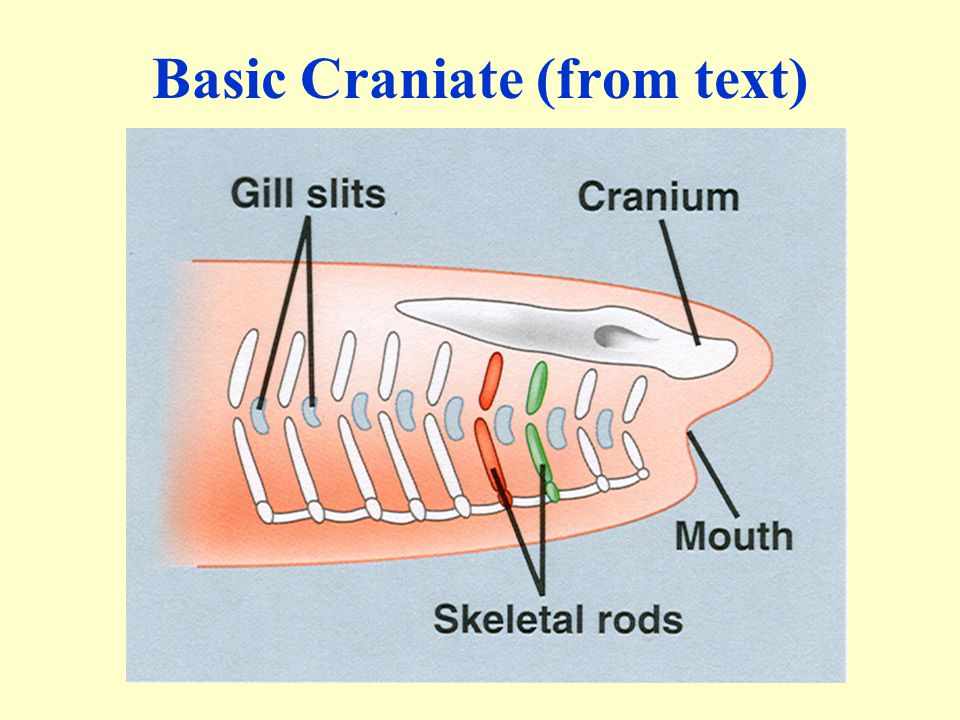 Basic Craniate (from text)