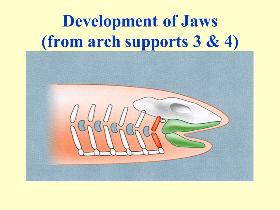 Development of Jaws (from arch supports 3 & 4)