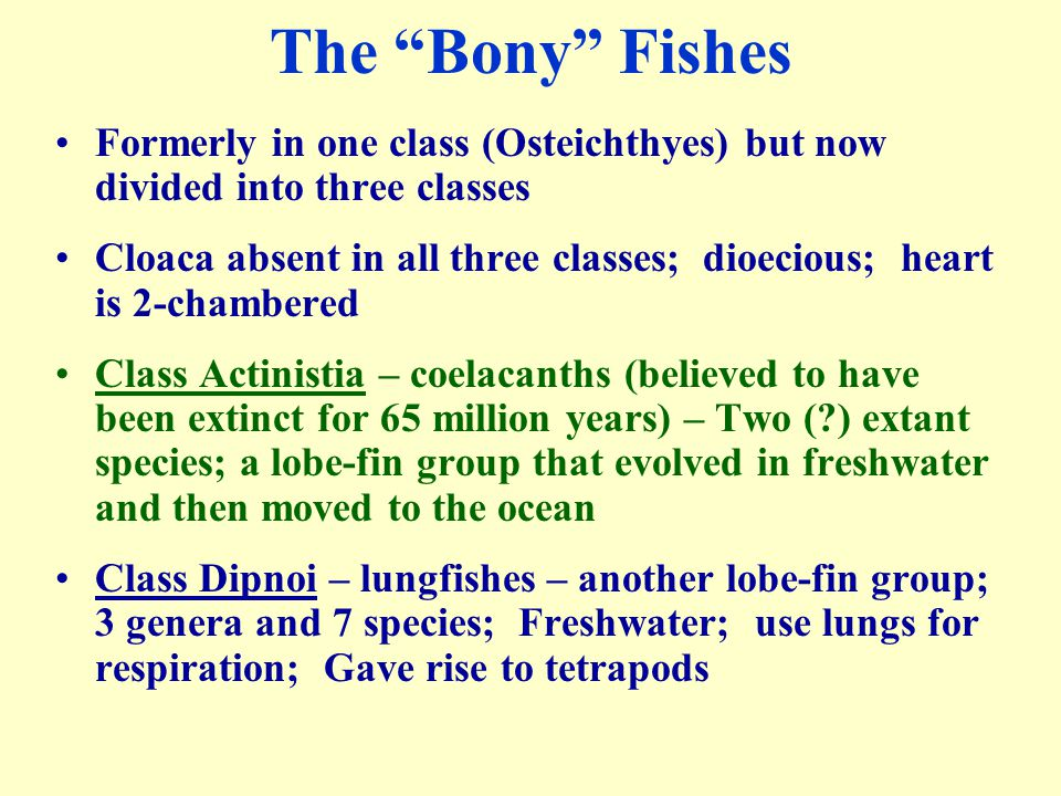 The Bony Fishes Formerly in one class (Osteichthyes) but now divided into three classes.