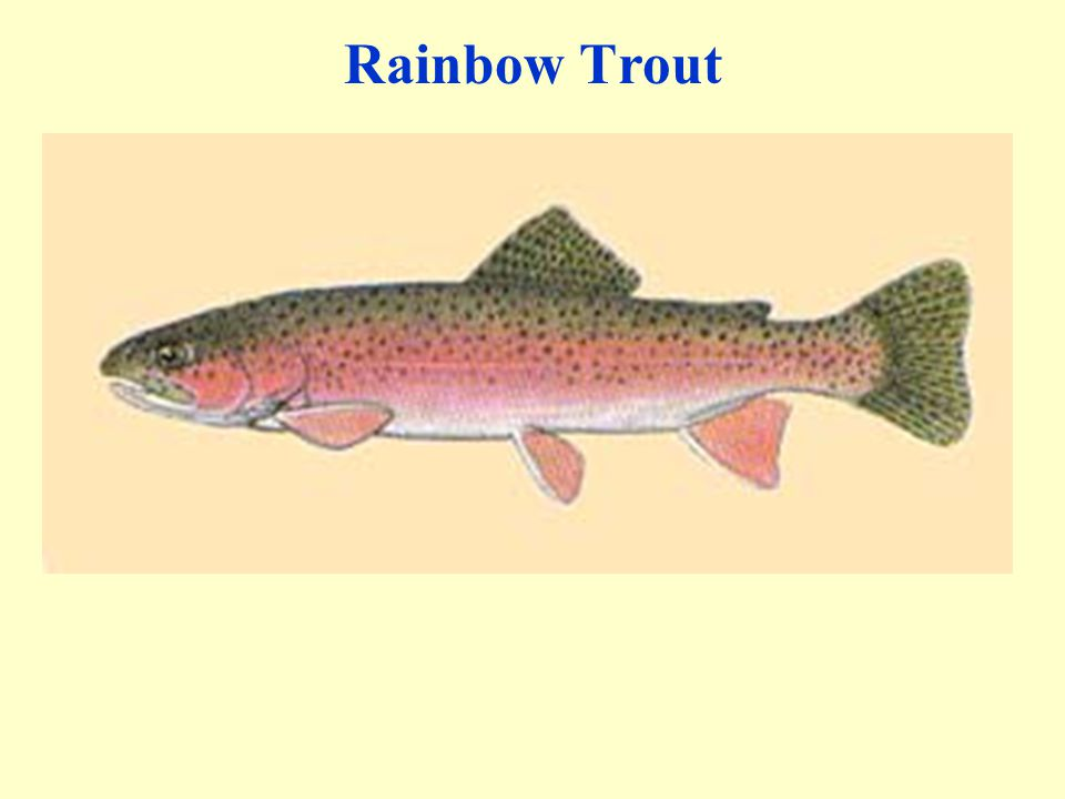 Rainbow Trout 43