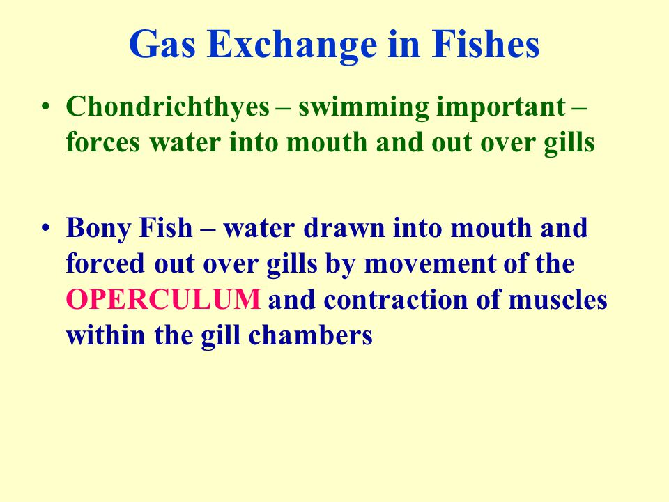 Gas Exchange in Fishes Chondrichthyes – swimming important – forces water into mouth and out over gills.