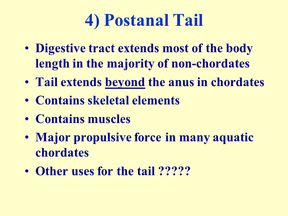 4) Postanal Tail Digestive tract extends most of the body length in the majority of non-chordates. Tail extends beyond the anus in chordates.