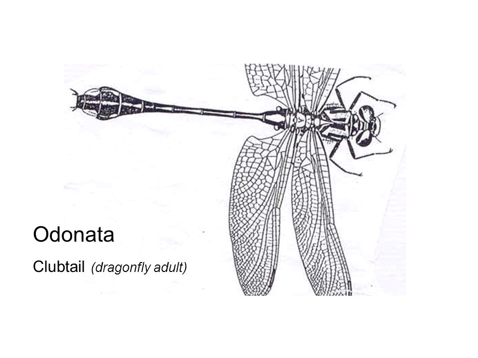 Odonata Clubtail (dragonfly adult)