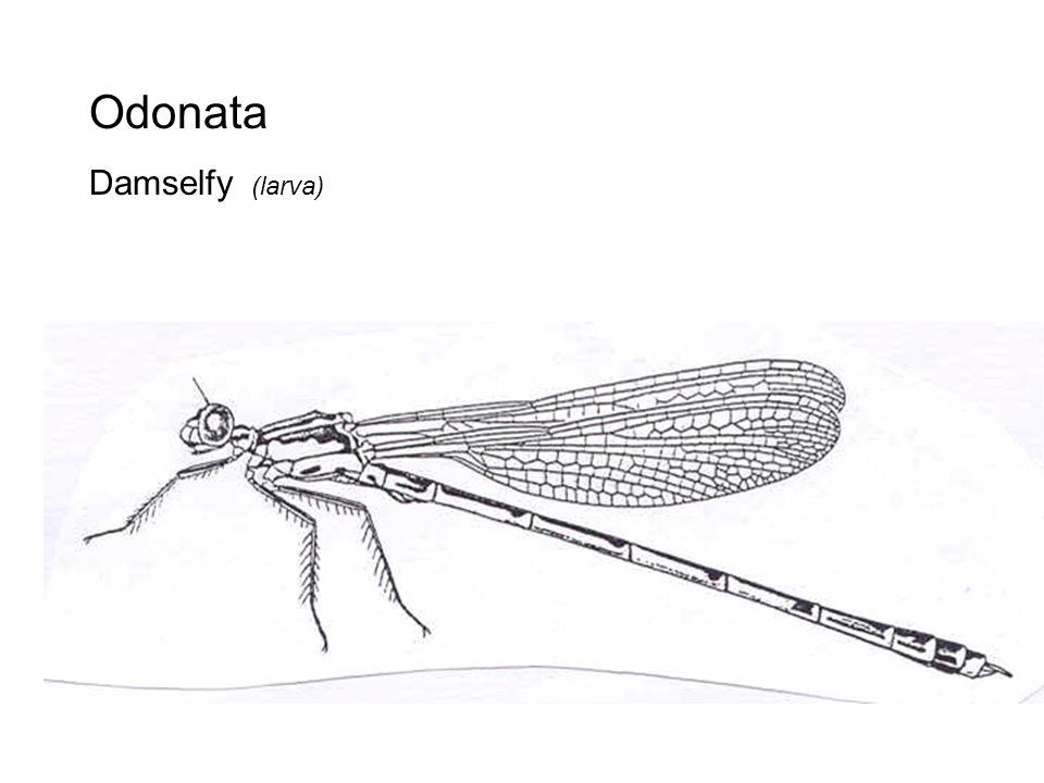 Odonata Damselfy (larva)