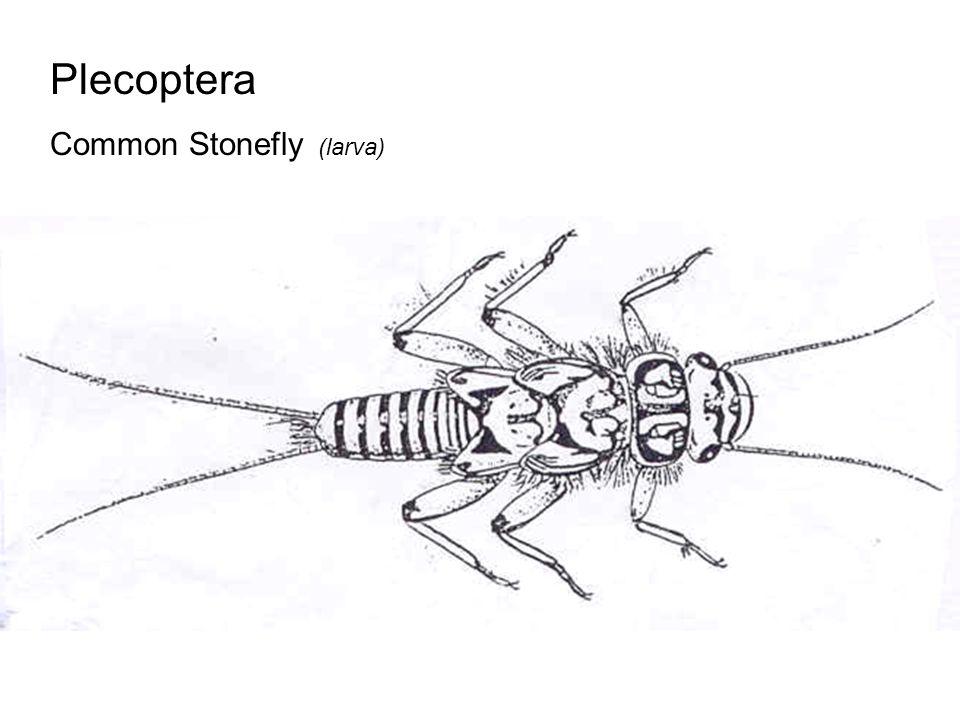Plecoptera Common Stonefly (larva)